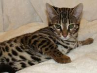 My name is Ziva. I am an F1 female Bengal Kitten born