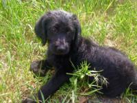 We have 1 black male F1 Labradoodle pup left! Louie is