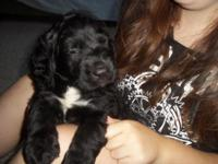 F1 St.BernieDoodle, female puppy, registered. This