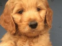 Beautiful F1b female goldendoodle available on October