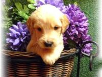 11 Golden Doodle puppies - 4 females for $900 and 7