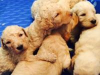 Adorable Healthy Goldendoodle Puppies Training