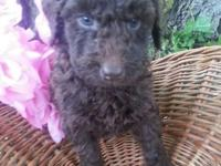 We have a gorgeous litter of F1B Goldendoodles. That