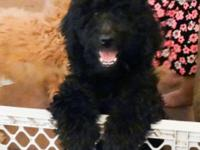 I have a ckc registered f1b labradoodle puppy looking