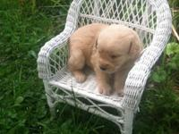 Cute F1B Labradoodle Puppies For Sale Starting @