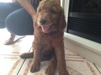 1 Male left Maxwell (father) is a red Standard Poodle