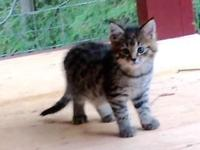 Female HP F4 savannah kitten looking for forever home.