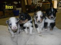 6 adorable puppies left Purebred Australian Shepherds