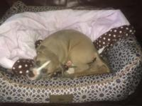 Gina is 8 weeks old, dewormed, pee pad trained, and