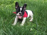Hello, I have an adorable female AKC french bulldog.