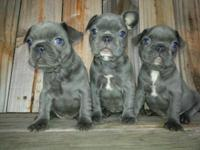 3 stunning blue female frenchies, born on March 11,