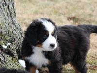 Adorable female BMD puppy who is looking for her
