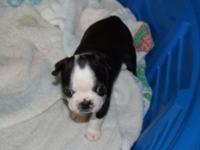 I have a charming girl Boston Terrier available. She