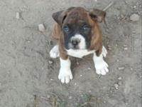 I have one even more boxer young puppy left! She was
