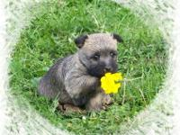Beautiful female cairn terrier puppy.. Cute