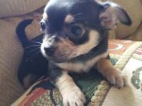 I have a small chihuahua female. She is 9 weeks old.