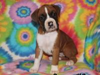 We have two adorable CKC female boxer puppies for sale.
