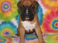 We have only one adorable CKC female boxer puppy for