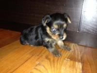 CKC female Yorkshire terrier puppy for sale. Born