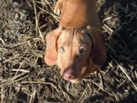 Beautiful light red smooth coat mini dachshund female.