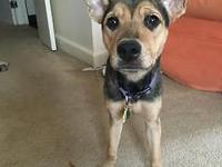 Adorable 10 month old female German Shepherd mix. Was