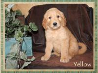 We have 3 adorable female goldendoodles. They are