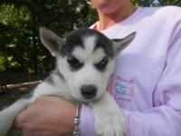 I am trying to find a home for this adorable husky