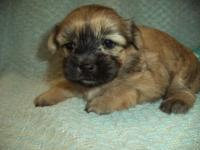 I have a female MalShi puppy that needs a new forever