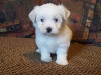 Adorable female maltese puppy, 2 months old, very