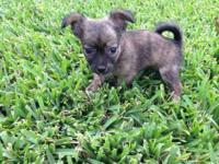 Adorable toy female purebred Maltese puppy born 8/8/13