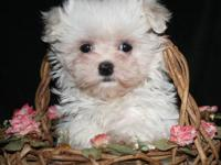 I have the last female maltese pup, she was born on