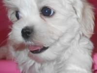 Simple Adorable fleecy white female Maltese puppy ready