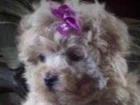 Adorable Sassy little Maltipoo baby. This little girl