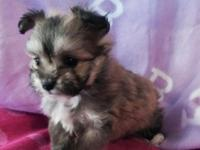 Adorable female Malti-Pom young puppy readily
