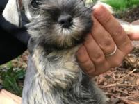 Seven week old female purebred puppy she does not have