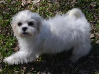 Hope is a cute shichon female puppy birthed 12/4/13. I