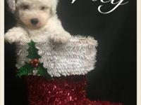 Beautiful little Girl! Ready now! Mom is a Shih Poo and
