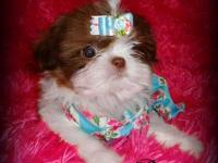 I have a female pure breed Shihtzu puppy for sale, she