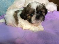 I have 2 adorable female Shih Tzu Puppies for sale.