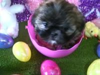 Super adorable Shih Tzu readily available. We have one