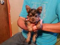We have an adorable Purebred FemaleYorkie puppy for