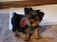 Adorable teacup Female Yorkie puppy available to a