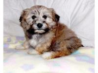 Puff is an adorable little Bichon Frise x Shih Tzu