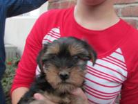 We have a beautiful female Yorkie puppy for sale. She