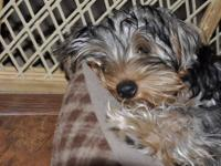 Adorable 4 1/2 month old female yorkie puppy. She is