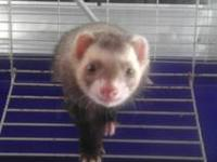 I have a full adult male ferret that I'm needing to