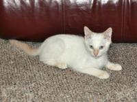 Handsome male flame point Siamese kitty. Born 04-16-14