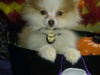 Breed-Pomeranian FEMALE Age-5cmonths TEACUP VERY TINY!
