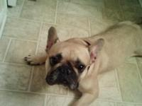 Adorable 2yr old french bulldog named Blondie for sale.