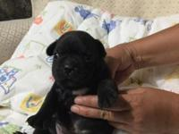 Purebred frenchie, born May 30th, 2 female and 1 male,